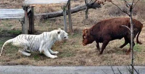 饿了3天的老虎看见牛之后