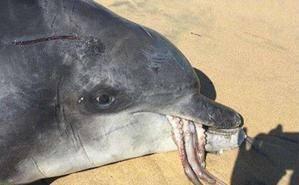 海豚想吞大章鱼却惹出大祸