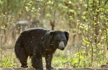 懒熊做了什么得罪野牛?