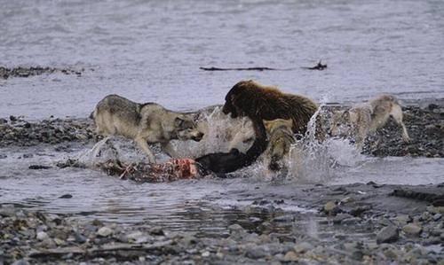 狼群正在进食不料狗熊来了